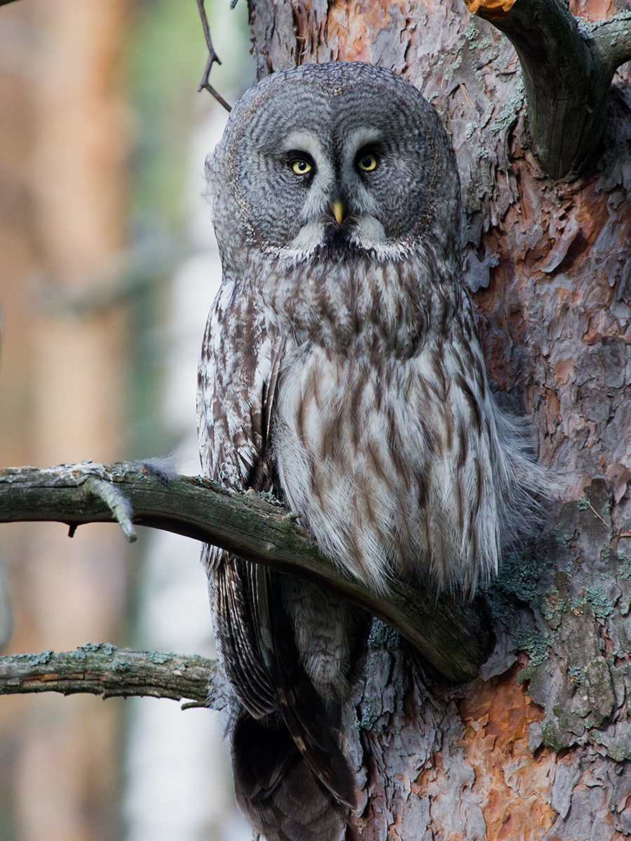 bird_birdwatchingapp/images/birds_album/owl/desktop/borod_yasip.jpg