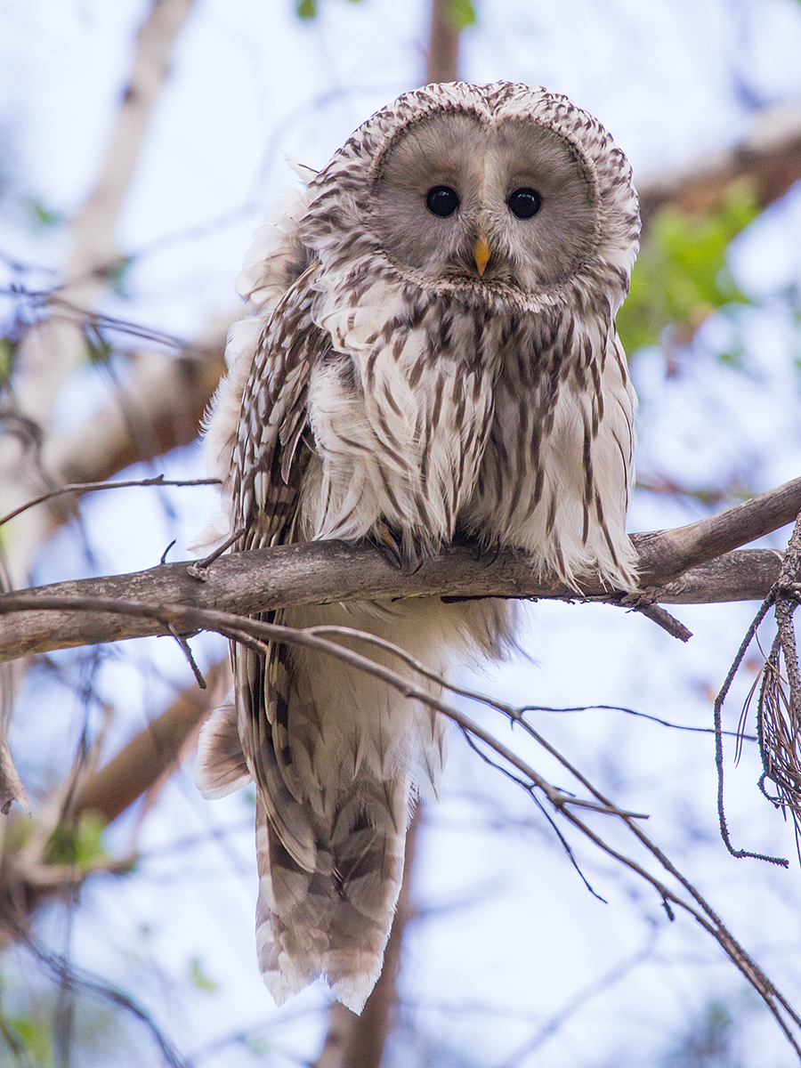 bird_birdwatchingapp/images/birds_album/owl/desktop/tail_loong_yasip.jpg